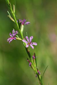 Image of Lythrum californicum