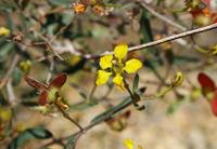 Image of Cottsia gracilis