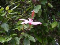 Image of Hibiscus rosa-sinensis