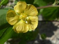 Image of Abutilon abutiloides