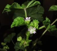 Image of Malva parviflora