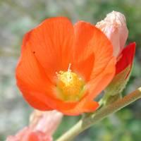Image of Sphaeralcea ambigua