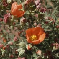 Image of Sphaeralcea hastulata