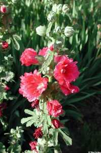 Image of Alcea rosea
