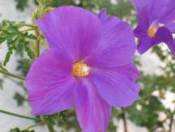Image of Hibiscus huegelii