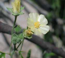 Image of Sida spinosa