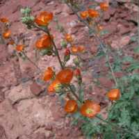 Image of Sphaeralcea grossulariifolia