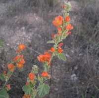 Image of Sphaeralcea parvifolia