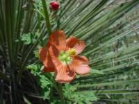 Sphaeralcea fendleri subsp. fendleri image