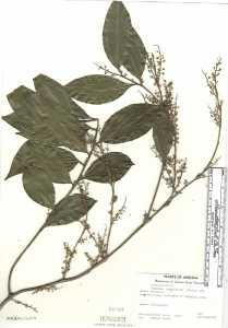 Image of Cocculus laurifolius