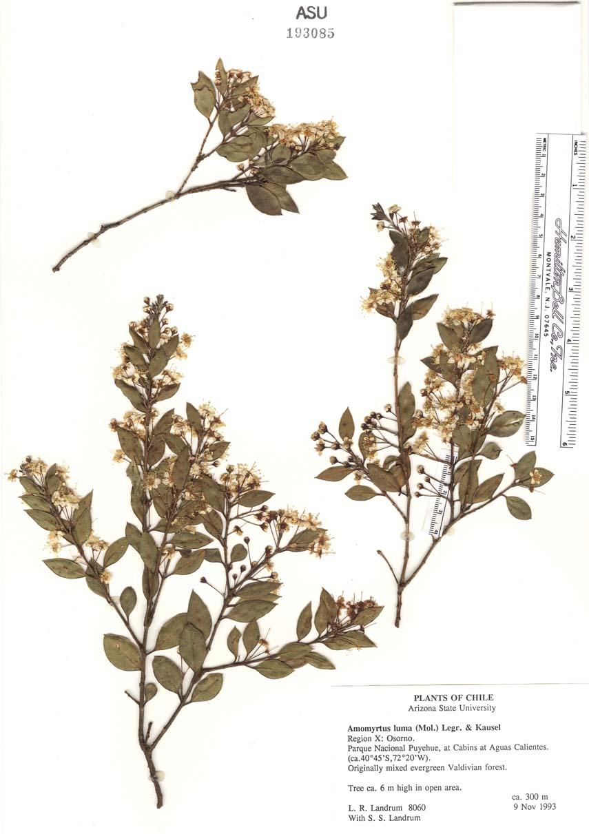 Amomyrtus image