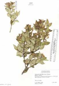 Image of Amomyrtus meli