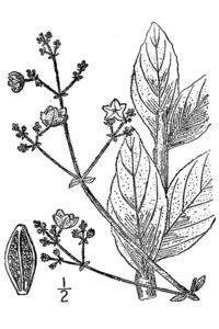 Image of Mirabilis glabra