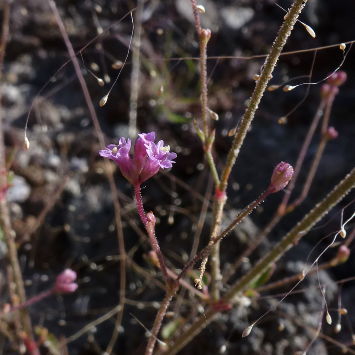 Nyctaginaceae image