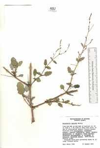 Boerhavia spicata image