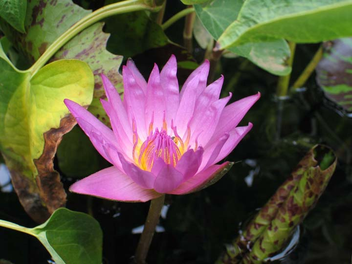 Nymphaea image