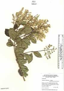 Image of Ligustrum japonicum