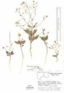 Image of Camissonia parryi