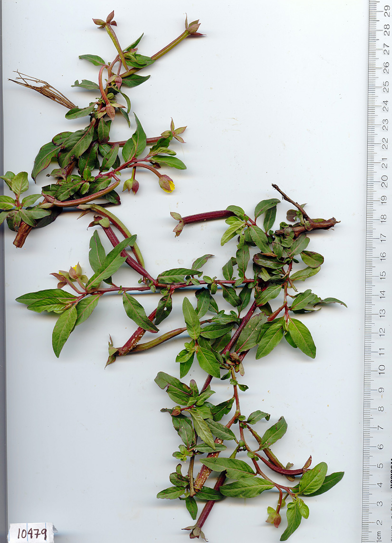 Onagraceae image
