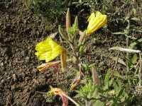 Image of Oenothera longissima