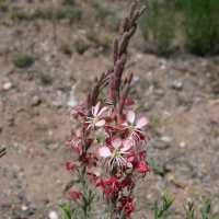 Image of Oenothera suffrutescens
