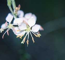 Image of Oenothera curtiflora