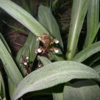 Image of Corallorhiza wisteriana