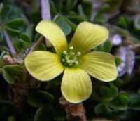 Image of Oxalis corniculata