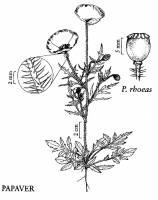 Image of Papaver rhoeas