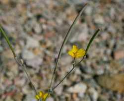 Image of Eschscholzia minutiflora