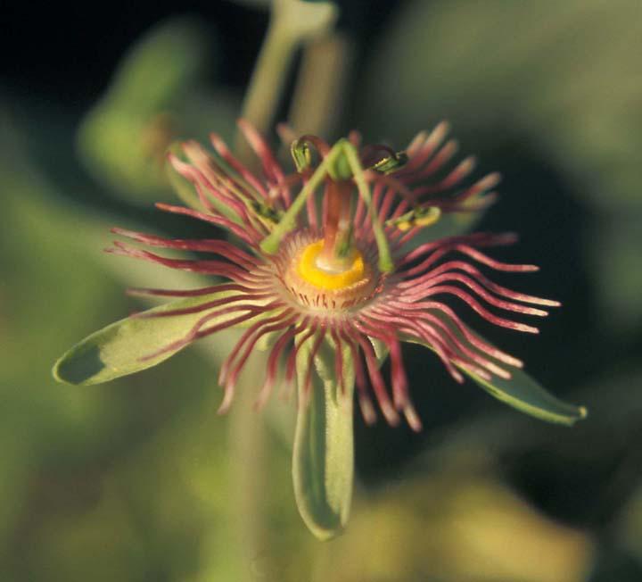 Passiflora mexicana image