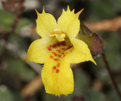 Phrymaceae image