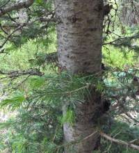 Image of Abies bifolia