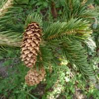 Image of Picea engelmannii
