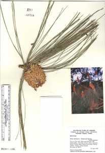 Image of Pinus canariensis