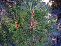 Image of Pinus herrerae