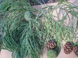 Image of Sequoiadendron giganteum