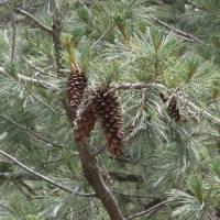 Image of Pinus strobiformis