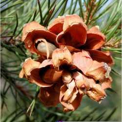 Image of Pinus edulis
