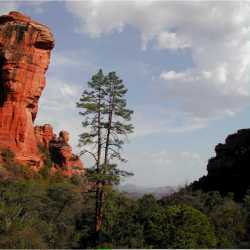 Image of Pinus ponderosa