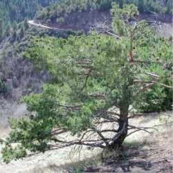 Image of Pinus sylvestris