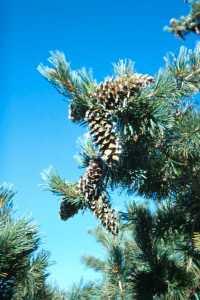 Image of Pinus flexilis