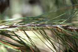 Image of Pinus leiophylla