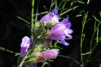 Image of Penstemon comarrhenus