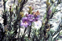 Image of Penstemon discolor