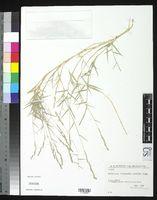 Aeluropus littoralis image