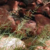 Image of Agrostis gigantea