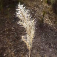 Image of Bothriochloa laguroides
