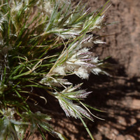 Image of Dasyochloa pulchella