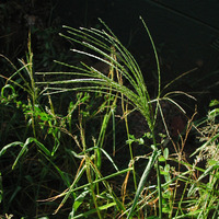 Image of Digitaria sanguinalis